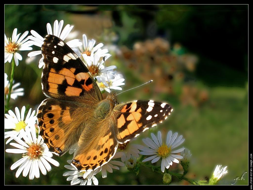 les papillons belle dame papillons adultes boites individuelles - Image De Papillon