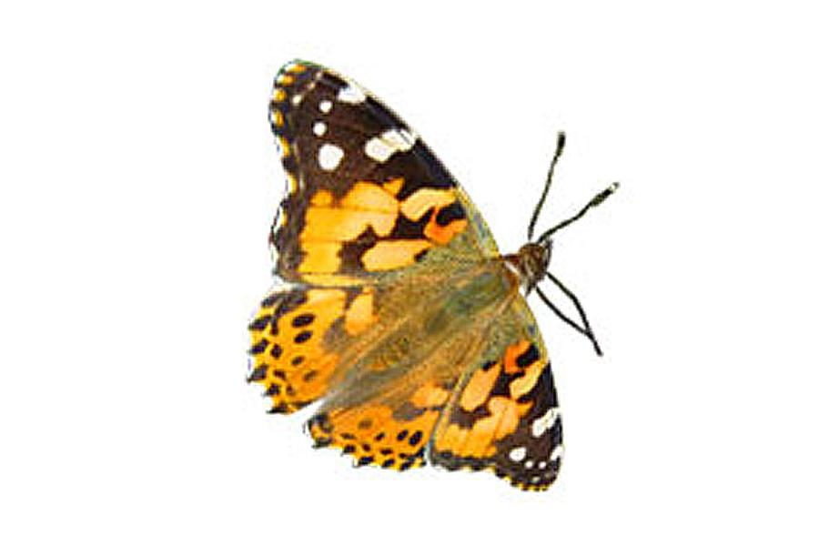 jba education nature kit d 39 levage papillons de la chenille au papillon en passant par la. Black Bedroom Furniture Sets. Home Design Ideas